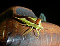Shield beetle found while flower arranging.jpg