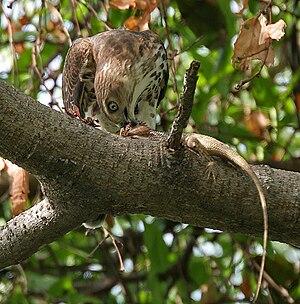 Accipitrinae - Shikra Accipiter badius feeding on a garden lizard in Hyderabad, India.