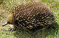 Short-beaked Echidna Tasmania.jpg