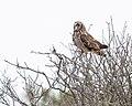 Short-eared Owl (50909588167).jpg
