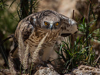 Short-toed eagle.jpg
