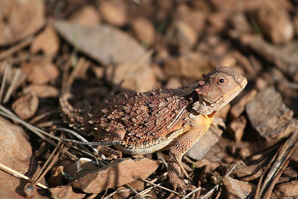 Short Horned Lizard (4457945238)