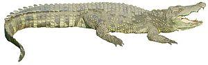 Crocodylus - 50 px