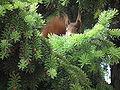 Sich versteckendes Eichhörnchen.JPG