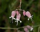 Silene vulgaris in Aspen (91171).jpg