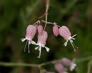 Silene vulgaris - Silene vulgaris flowers