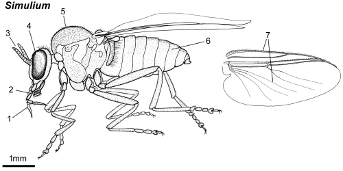 Simulium female lateral.png