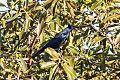 Sinaloa Crow (Corvus sinaloae) (8079392467).jpg