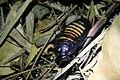 Sissende kakkerlak.JPG