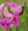 Six-spot Burnet Moth - geograph.org.uk - 905829.jpg