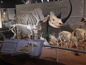 Skeletons: Museum of Osteology - Image: Skeletons Animals Unveiled Rhino Skeleton