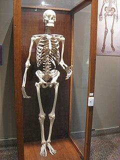 Skeletons in Buffalo Museum of Science - IMG 3795