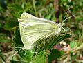 Small Whites mating. Pieris rapae - Flickr - gailhampshire (1).jpg