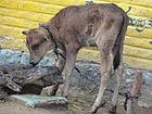 Small calf.jpg