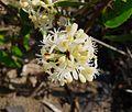 Smilax aspera - Flickr - gailhampshire.jpg