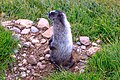 Smithers area - late afternoon hike to Crater Lake on Hudson Bay Mtn - Hoary Marmot (Marmota caligata) - (20935567873).jpg