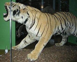 "Leeds City Museum - The Leeds City Museum ""man-eater"" stuffed Indian tiger."
