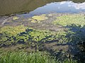 Snake River at Celebration Park Idaho- algae on shoreline 2.jpg