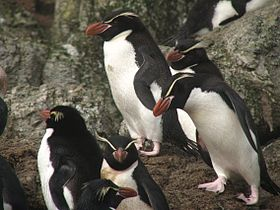 Snares Penguin (Eudyptes robustus) -group.jpg