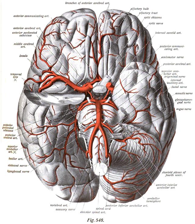 Anterior Cerebral Artery Wikiwand