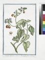 Solanum Spinosum, Indicum, Borraginis flore (NYPL b14444147-1125088).tiff
