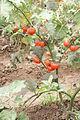 Solanum aethiopicum for seeds.JPG