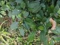 Solanum diphyllum 20181022 154946.jpg