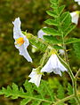 Solanum sisymbriifolium. Locatie De Kruidhof 03.JPG