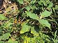 Solanum violaceum 11.JPG