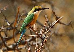 Somali Bee-eater, Merops revoilii.jpg