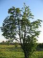 Sorbus aucuparia 270605.jpg