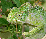 South Asian Chamaeleon (Chamaeleo zeylanicus) W IMG 1839.jpg