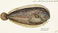 Southern Pacific fishes illustrations by F.E. Clarke 81.jpg
