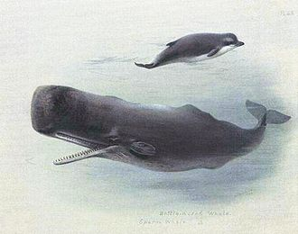 Physeteroidea - Sperm whale and Bottlenose whale