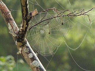 Medzi konármi si pavúci tkajú siete