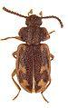 Spinolyprops maculatus - ZooKeys-243-083-g003-8.jpeg