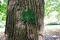Spitzahorn Acer platanoides 4132.jpg