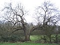 Split oak - geograph.org.uk - 324252.jpg