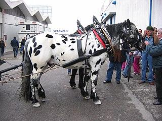 Noriker horse breed