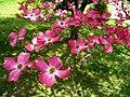Spring-pink-dogwood-tree - West Virginia - ForestWander.jpg