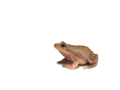 Spring Peeper (Pseudacris crucifer) (6239872724).png