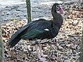 Spur-winged Goose (Plectropterus gambensis RWD3.jpg