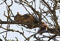 Squirrel - Sincap 02.jpg