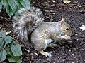 Squirrel in Battery Park City, Manhattan 1.jpg