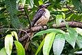 Sri Lanka grey hornbill(Ocyceros gingalensis) 01.jpg