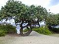 Starr-010309-0519-Hibiscus tiliaceus-habit-Mai poina oe lau Beach Kihei-Maui (24505821986).jpg