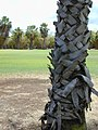 Starr-010420-0116-Washingtonia sp-trunk-Kahului-Maui (24424033522).jpg