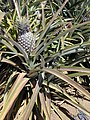 Starr-020630-0022-Ananas comosus-leaves and fruit-Makawao-Maui (23923448713).jpg
