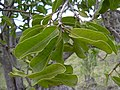 Starr-031111-0128-Charpentiera obovata-leaves and fruit-Auwahi-Maui (24380043550).jpg