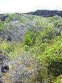 Starr-040331-0089-Cassytha filiformis-habit-Kanaio-Maui (24582679702).jpg